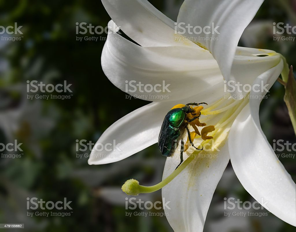 chafer and lilium flower royalty-free stock photo
