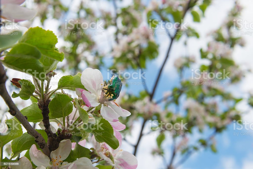 chafer beetle collecting pollen on a flower apple stock photo