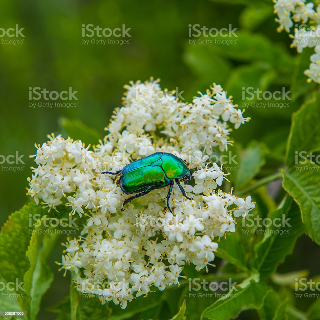 chafer beetle on a flower stock photo
