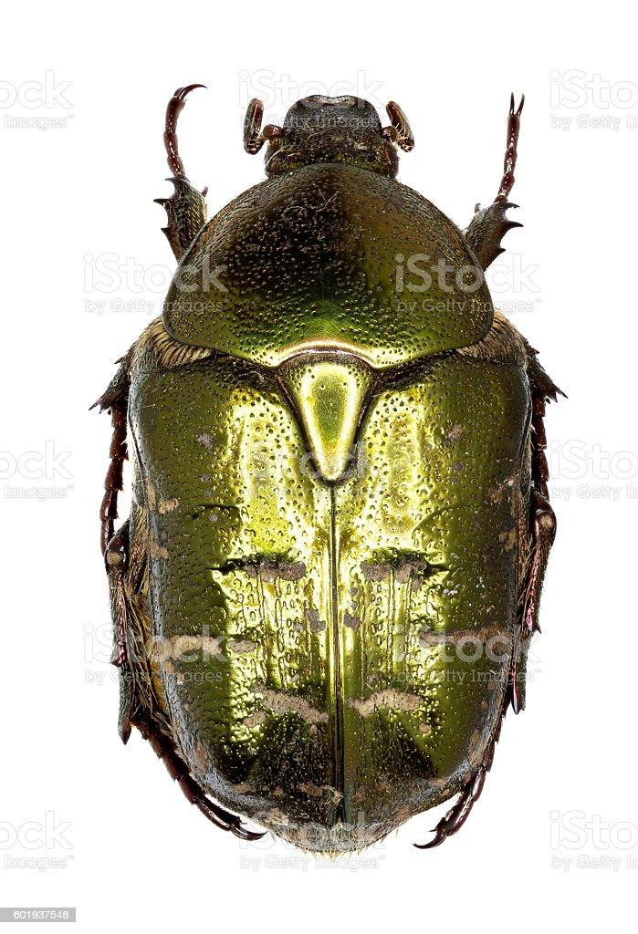 Chafer Beetle Protaetia on white Background stock photo