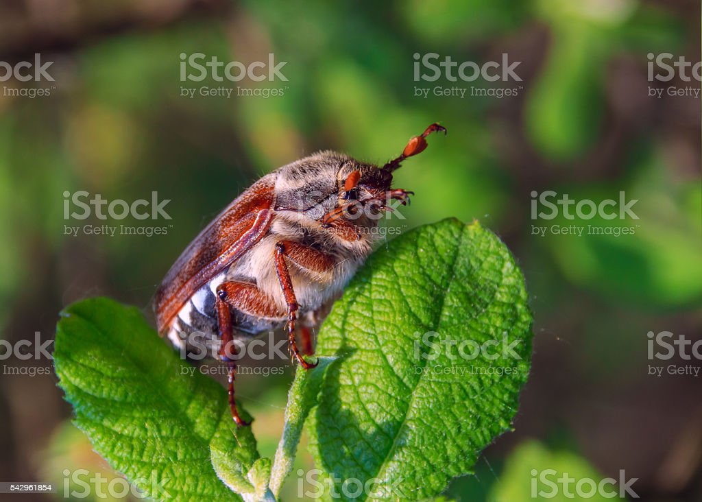 Chafer beetle sits on the apple leaf. stock photo