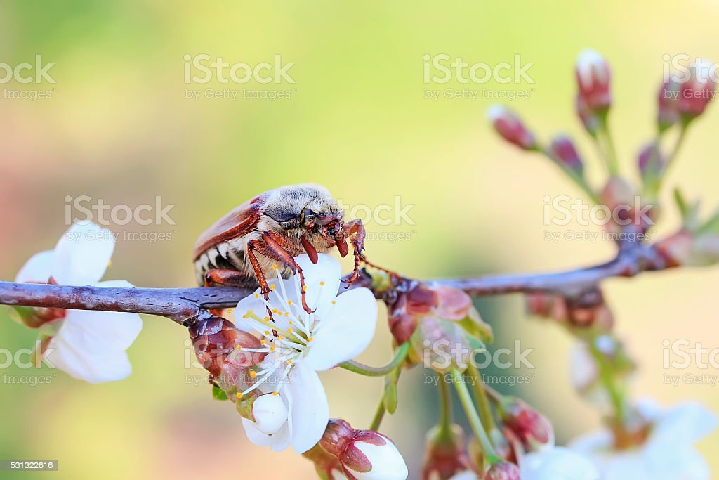 chafer beetle sits on the flowers of Apple tree stock photo