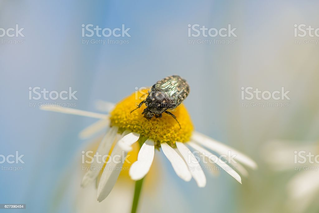 chafer collecting pollen on a camomile. Shallow depth of field. stock photo