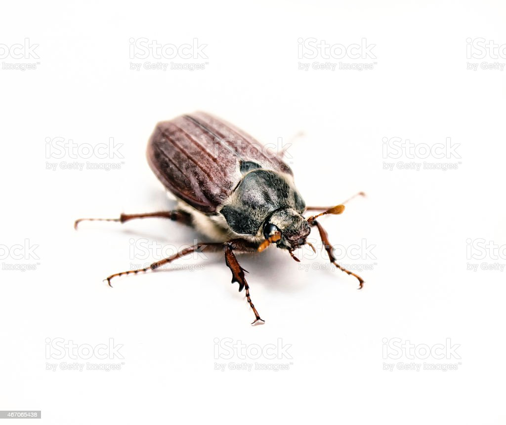 Chafer isolated on white. Macro stock photo