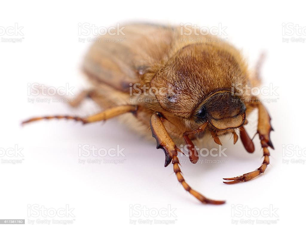 Chafer isolated on white stock photo