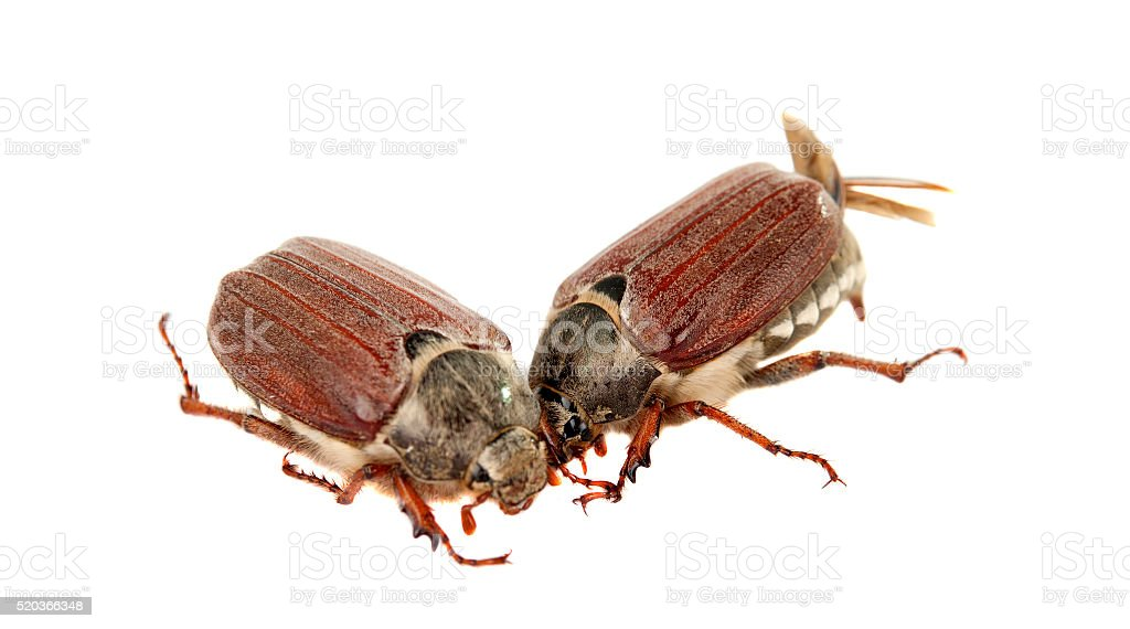chafer isolated stock photo
