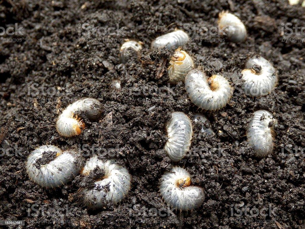 Chafer Larva (Phyllophaga) stock photo