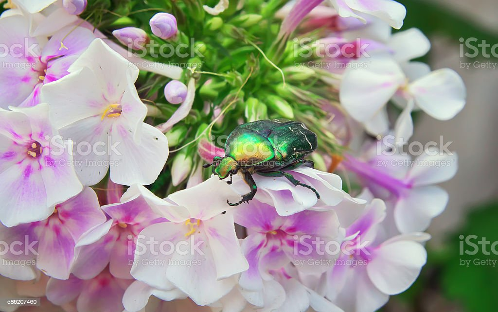 chafer on a white flower stock photo