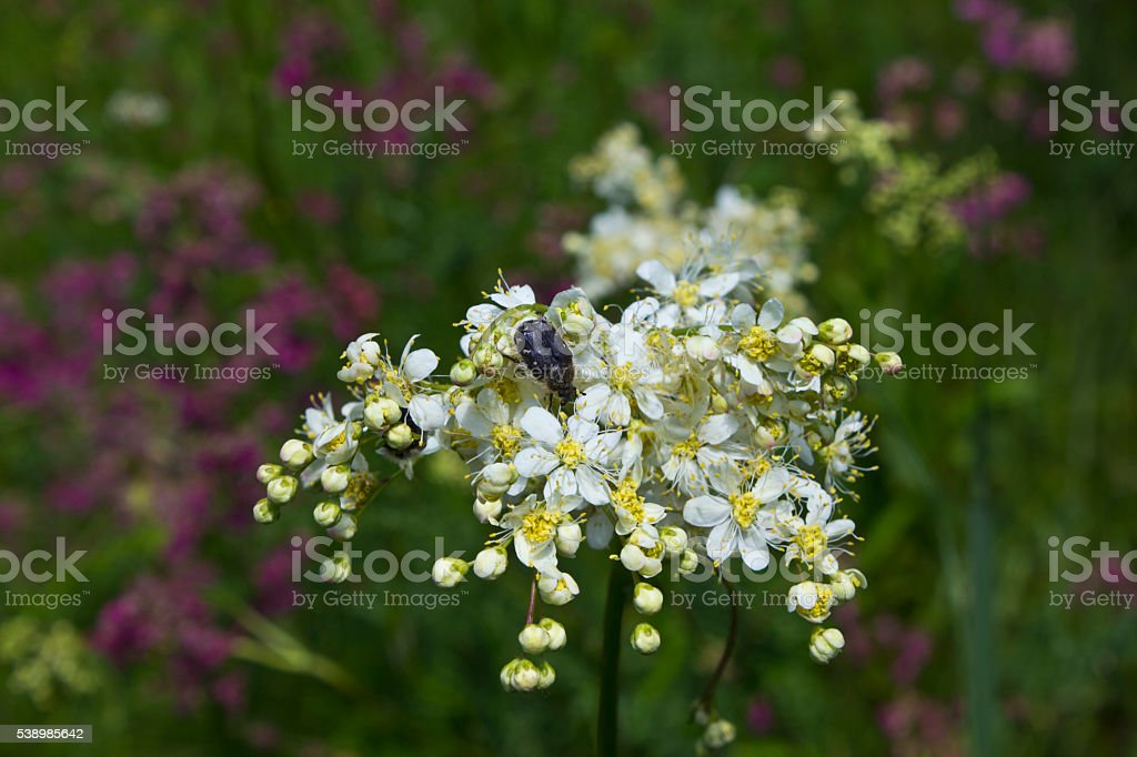 Chafer on flowers of meadowsweet stock photo