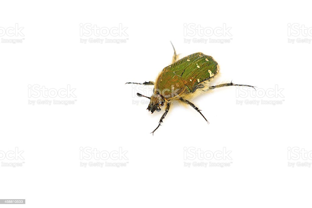 chafer stock photo
