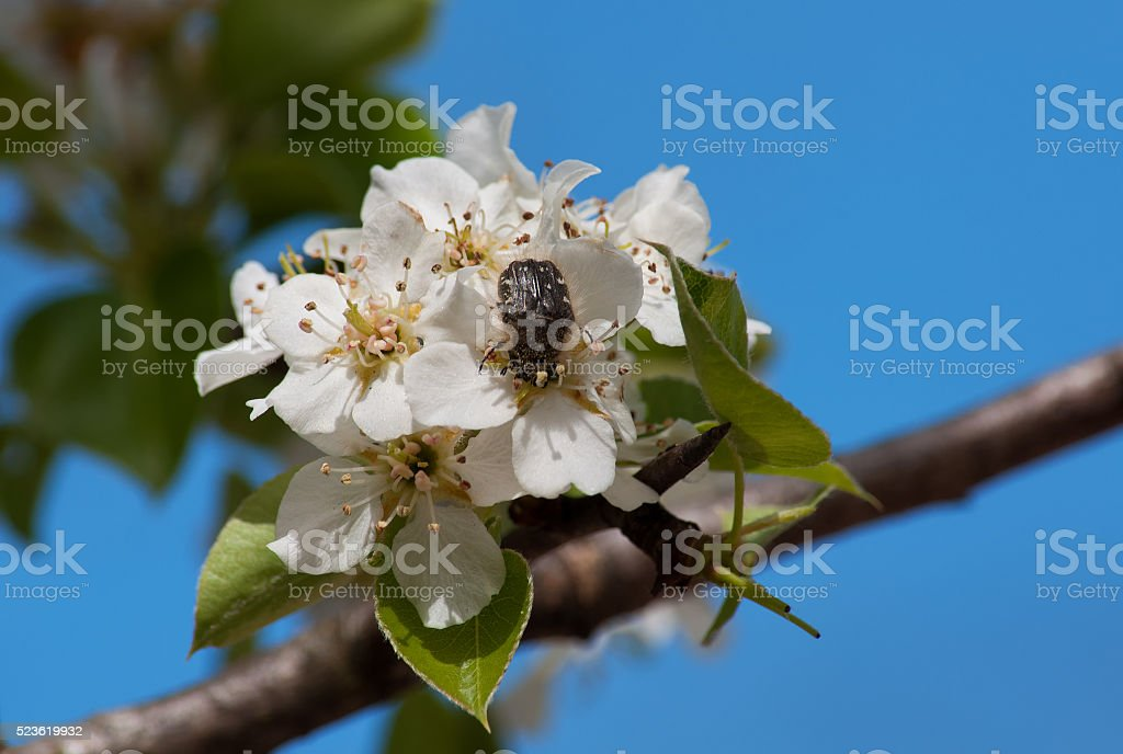 chafer shaggy eats apple flowers stock photo
