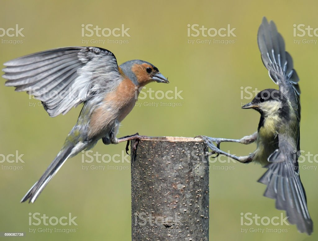 Chaffinch and Great Tit stock photo