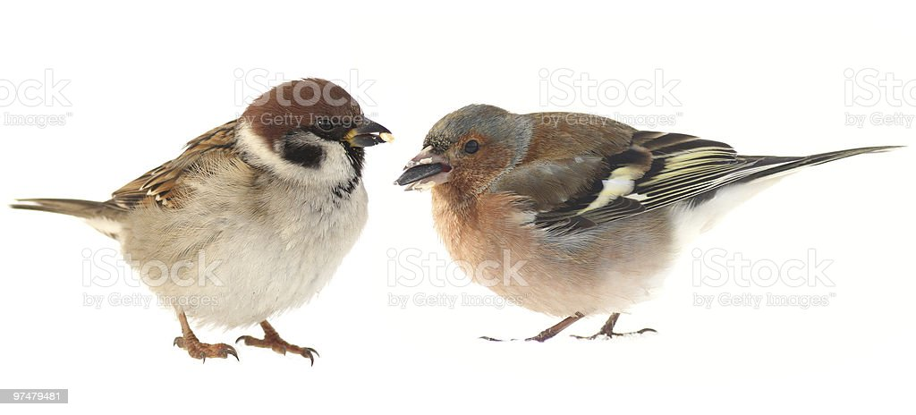 Chaffinch and sparrow stock photo