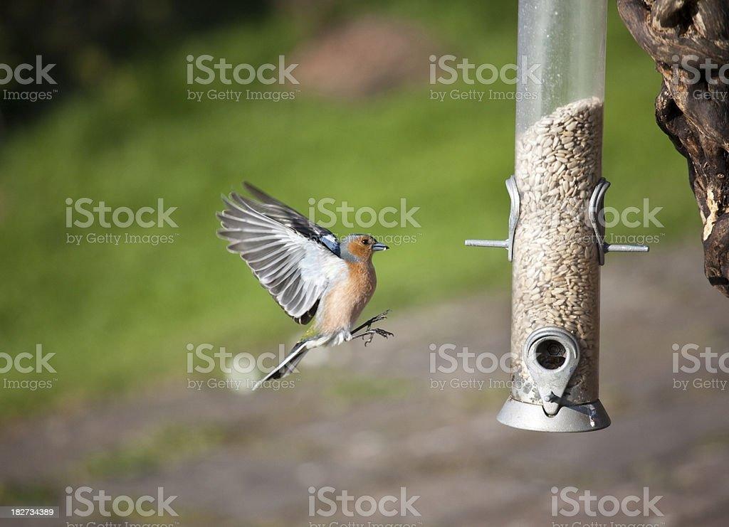 chaffinch approaching birdfeeder royalty-free stock photo