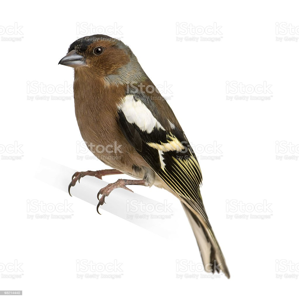 Chaffinch - Fringilla coelebs on its perch royalty-free stock photo