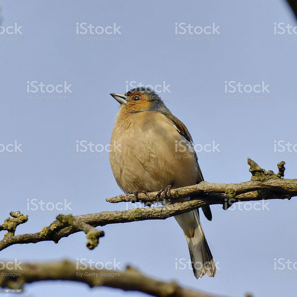 Chaffinch Fringilla coelebs pink-breasted chirpster royalty-free stock photo