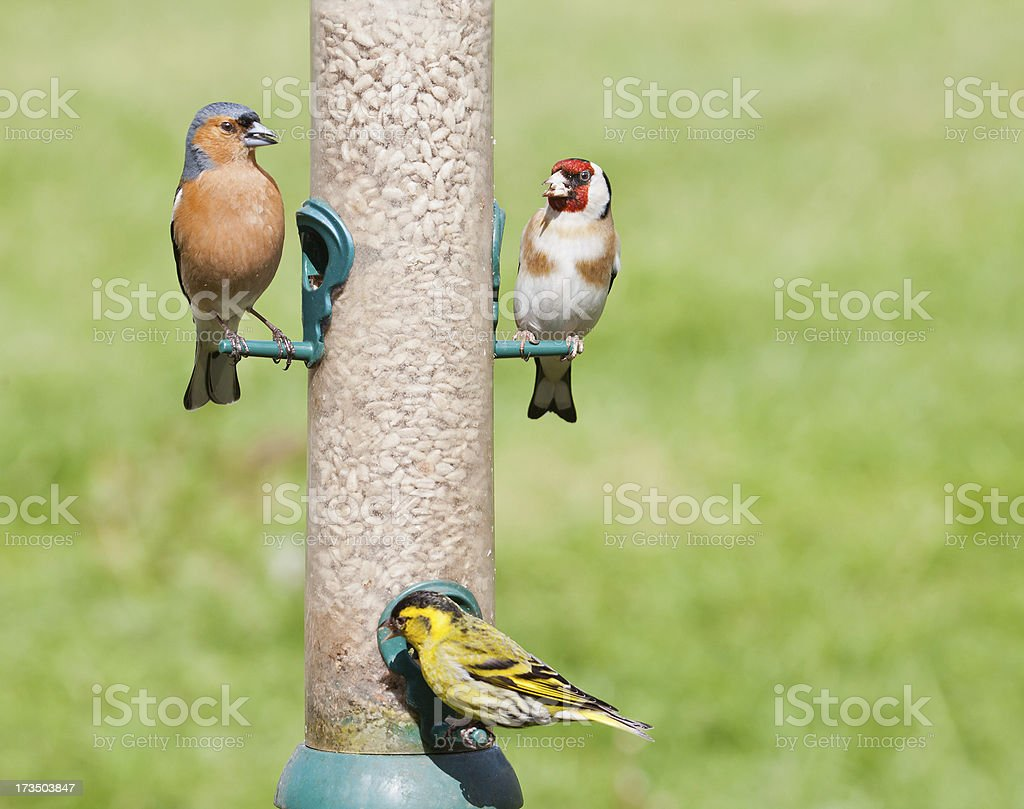 Chaffinch, Goldfinch and Siskin - sunflower seed feeder stock photo