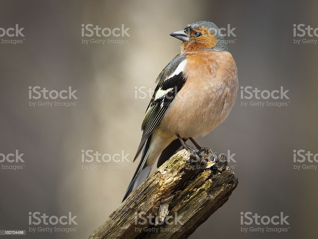 Chaffinch (Fringilla coelebs), male royalty-free stock photo