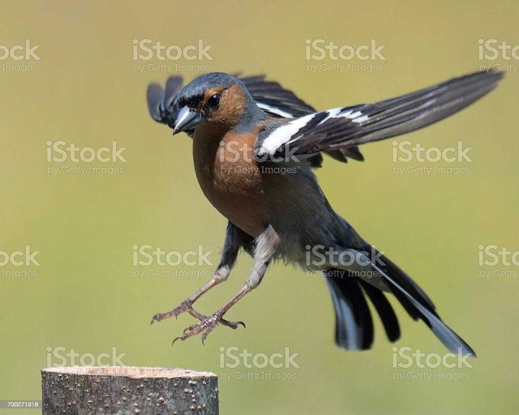 Chaffinch Male stock photo