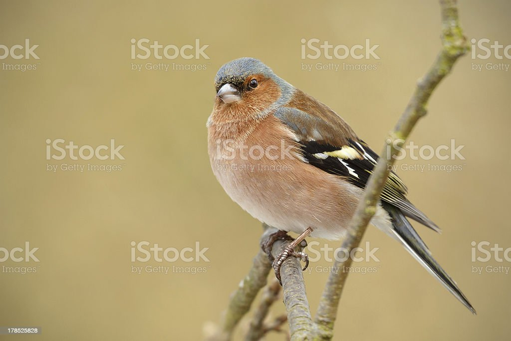 Chaffinch on a branch royalty-free stock photo