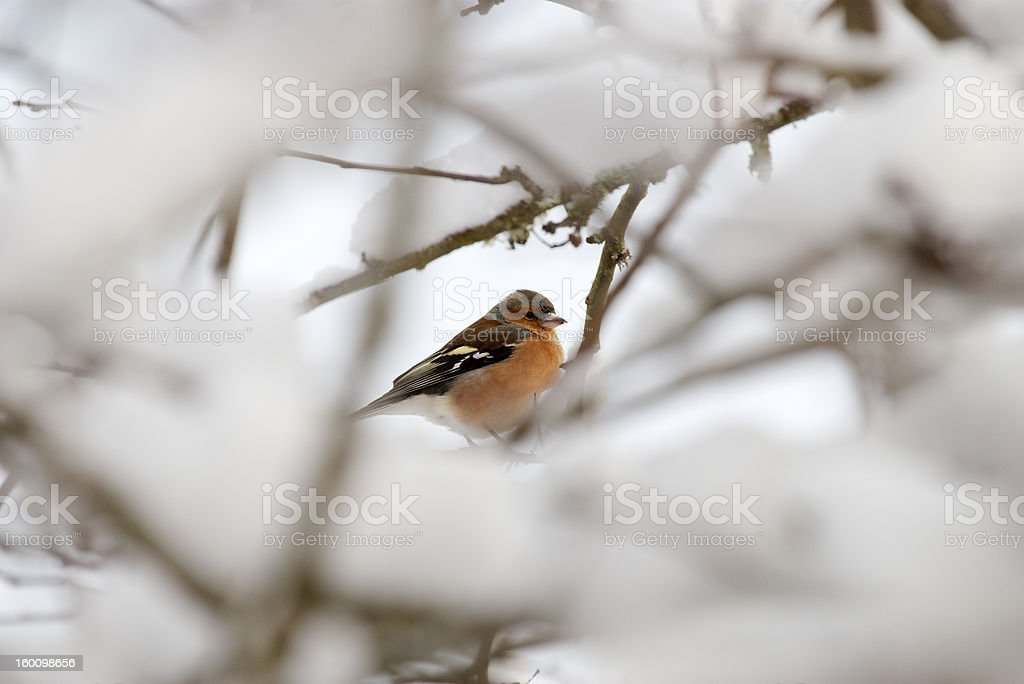 Chaffinch on the snow royalty-free stock photo
