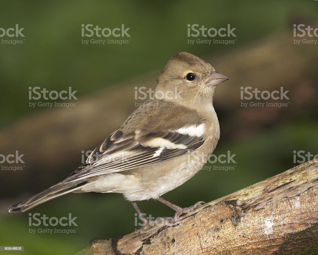 Chaffinch (Fringilla coelebs) stock photo