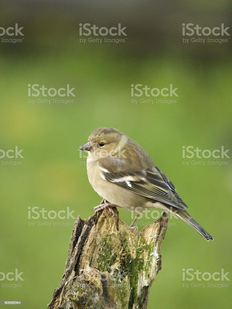 Chaffinch (Fringilla coelebs) royalty-free stock photo