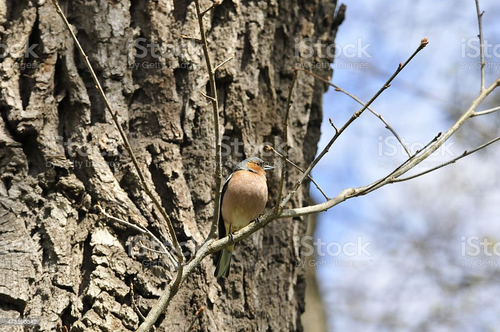 Chaffinch. Songbird finch male. stock photo
