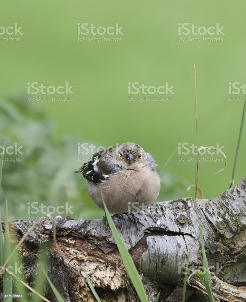 Chaffinch (Fringilla coelebs), Trichomoniasis royalty-free stock photo