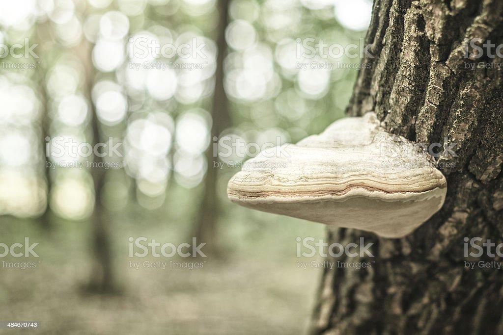 Champignon aux vertus du champignon (Chaga le birch photo libre de droits