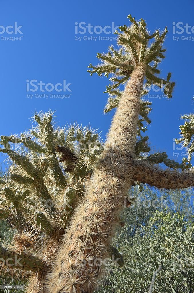 Chain Fruit Cholla Stretching Into the Sky royalty-free stock photo