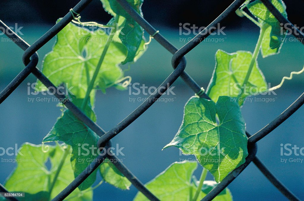 Chain Link Fence and Grape Vine stock photo