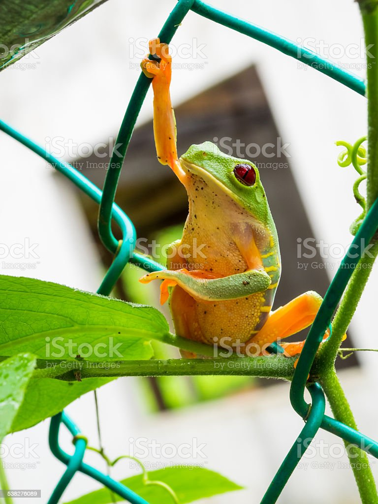 Chain Link Tree Frog stock photo