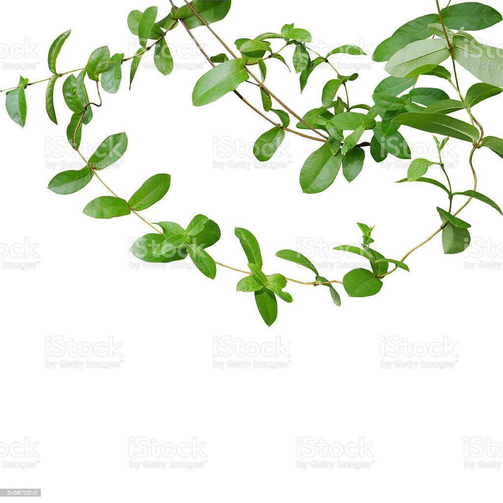 Chain of green leaf vines isolated on white background, clipping stock photo