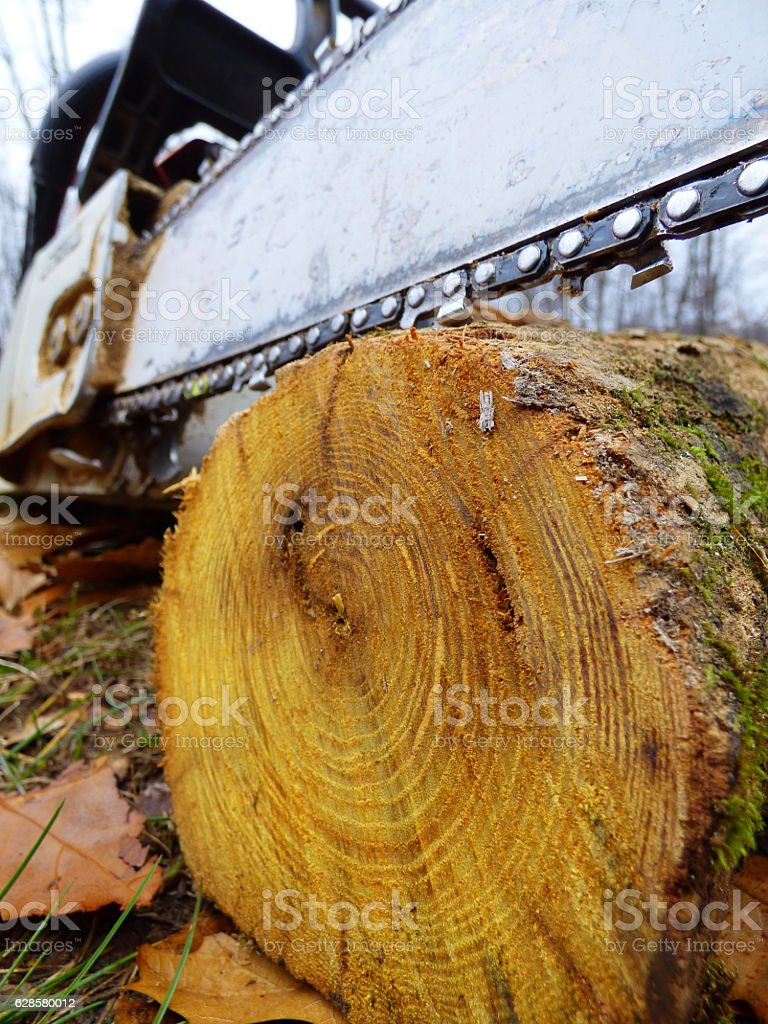 Chainsaw and Cut End of Osage Orange Log stock photo