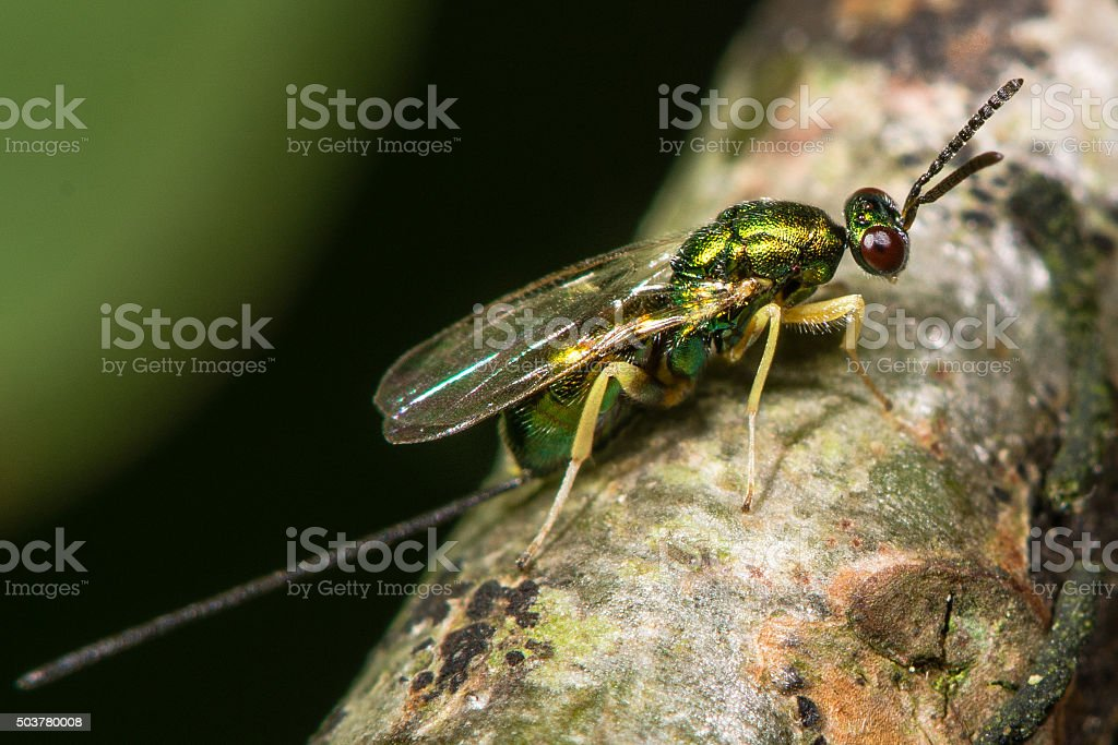 Chalcid wasp (Torymus species) with ovipositor showing stock photo