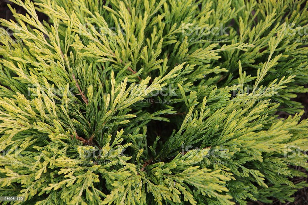 Chamaecyparis or false cypress stock photo