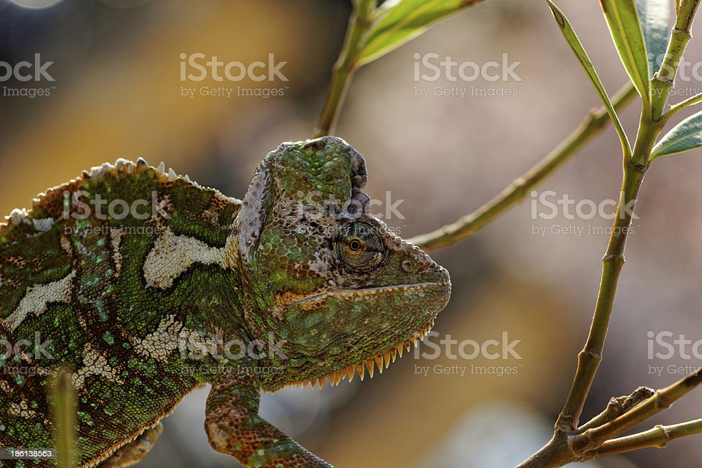Chamaeleo calyptratus royalty-free stock photo