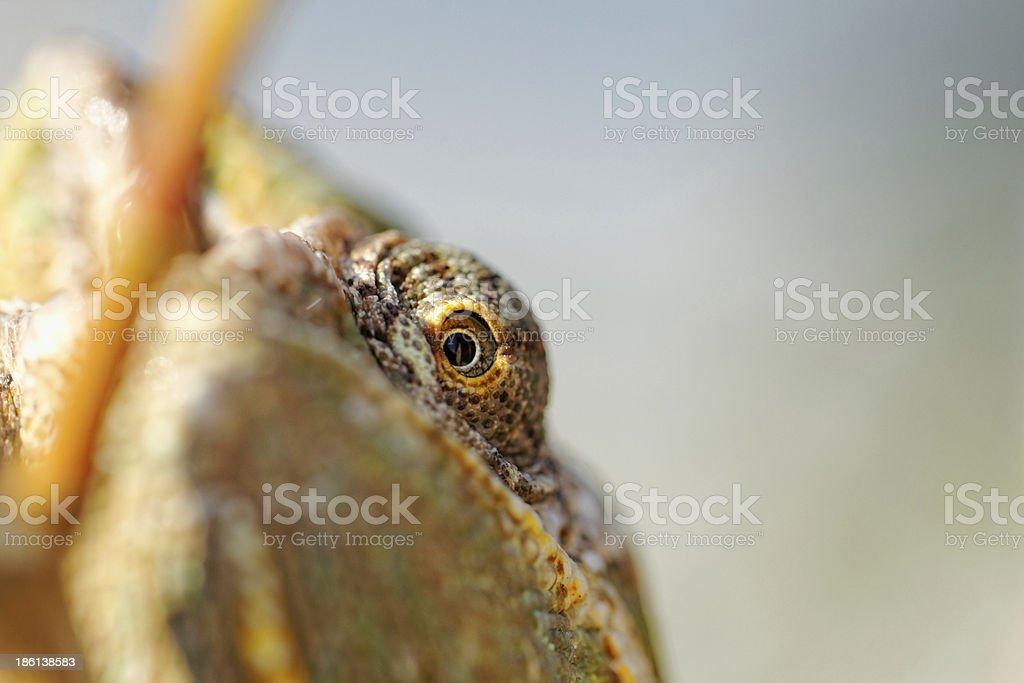 Chamaeleo calyptratus royalty-free stock photo