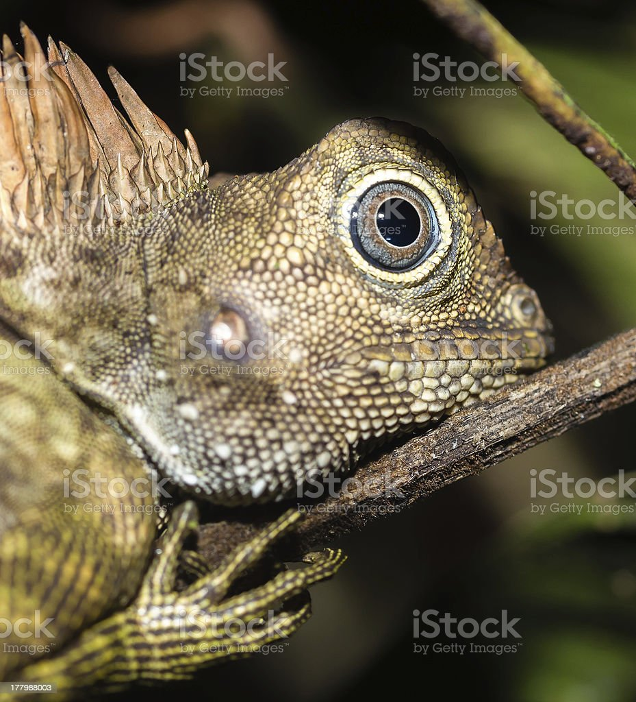 Chamaeleon up close at night in the Borneo jungle stock photo
