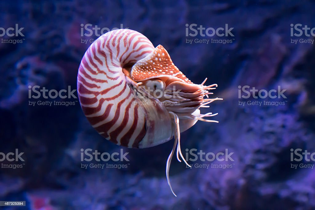 chambered nautilus jetting stock photo