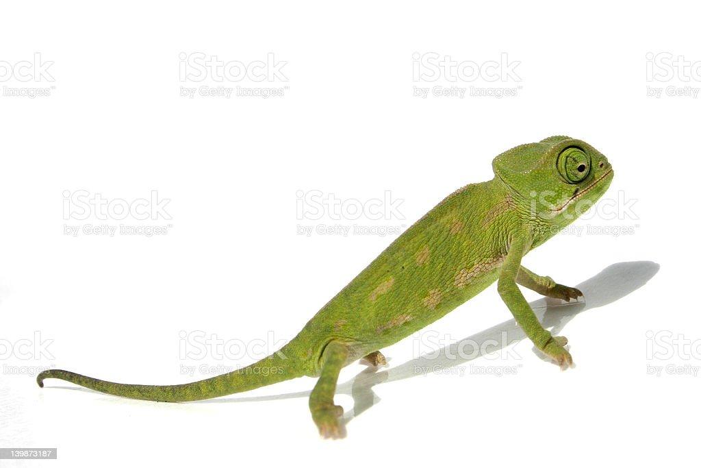 chameleon 2 royalty-free stock photo