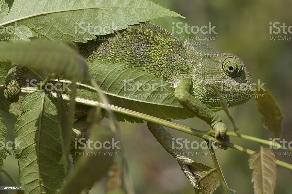 chameleon camouflaged stock photo