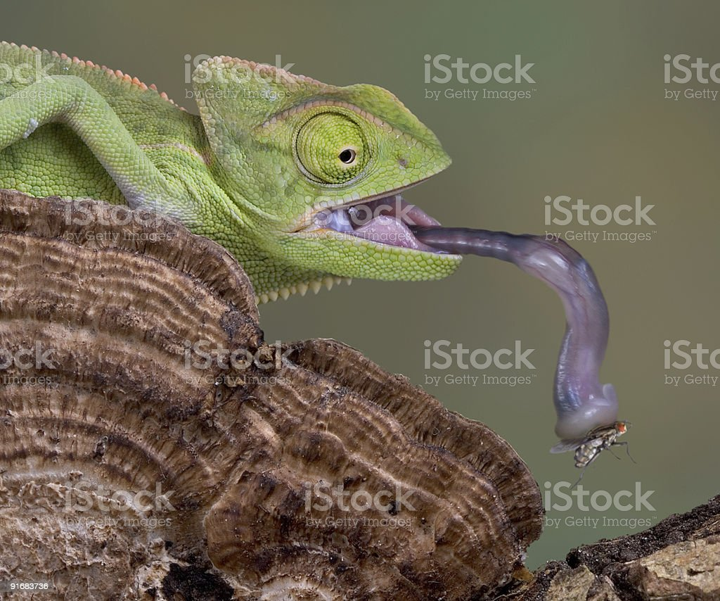 Chameleon catches fly with his tongue stock photo