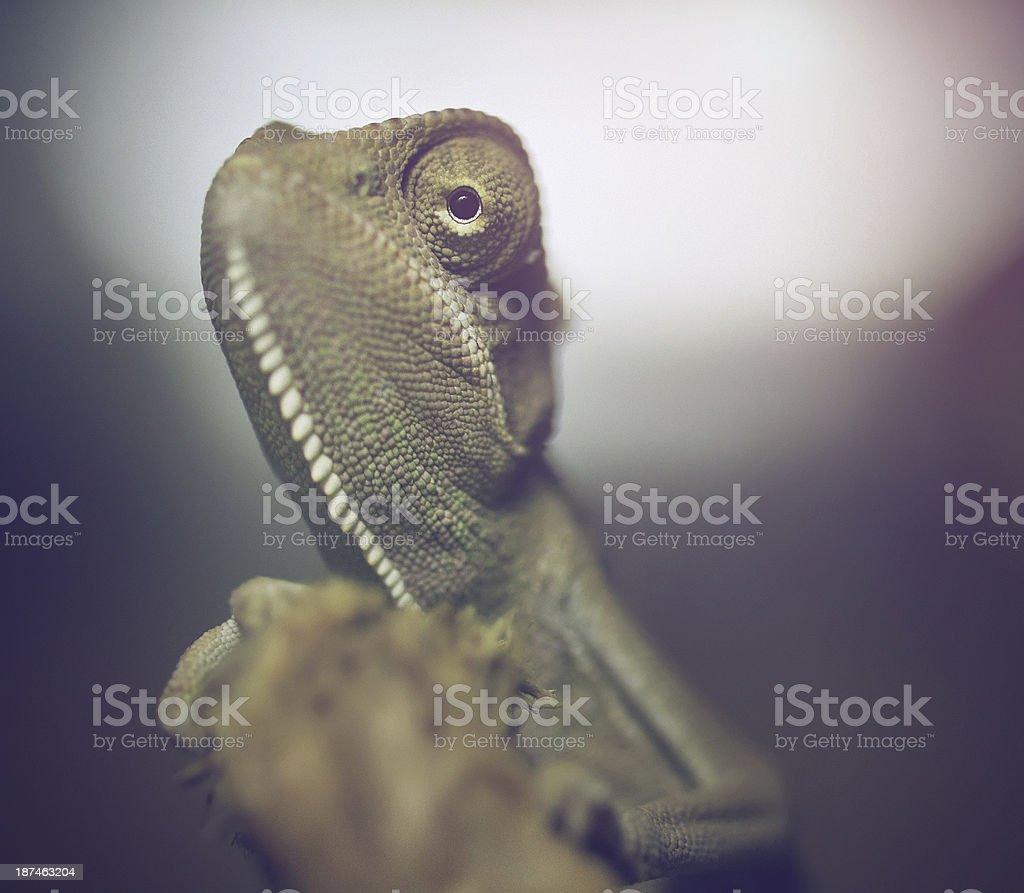 Chameleon close up stock photo
