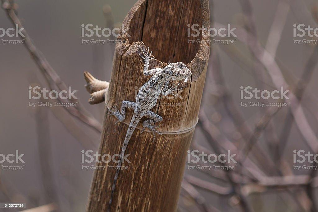 Chameleon, Dragon stock photo