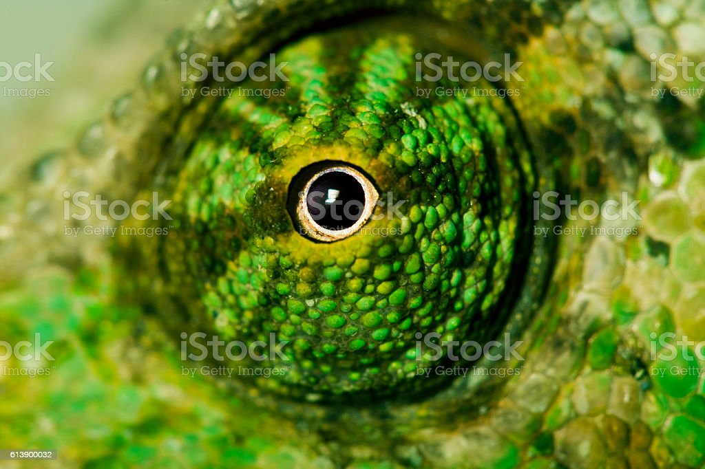 Chameleon eye stock photo