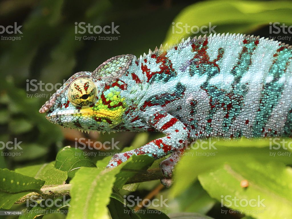 Chameleon in a tree stock photo