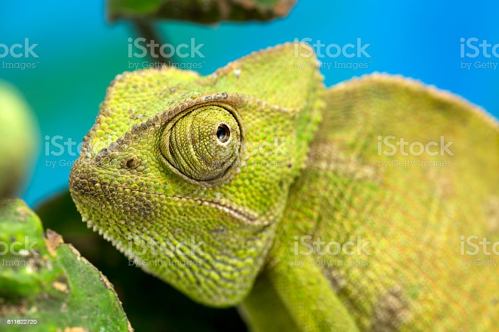 Chameleon in close up detail stock photo
