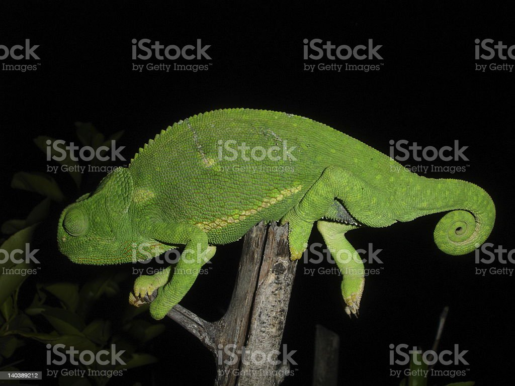 Chameleon in Dark stock photo